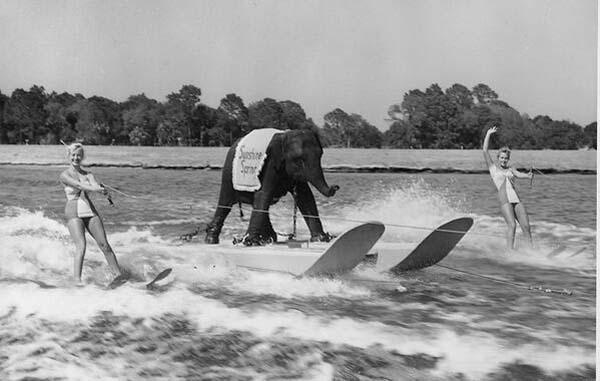 44.)Queenie,滑雪大象(1950年)。