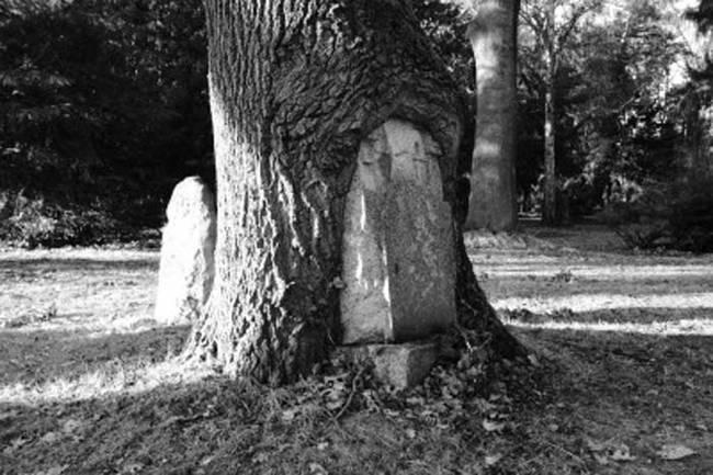 Pohon yang mewarisi kuburan tua.