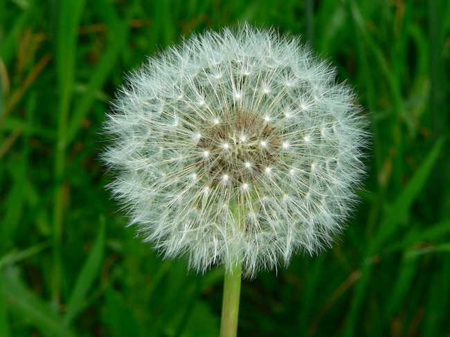 Doctors in China once had to remove a fully grown dandelion from a girl's ear.