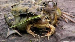 Here's a frog with three heads.