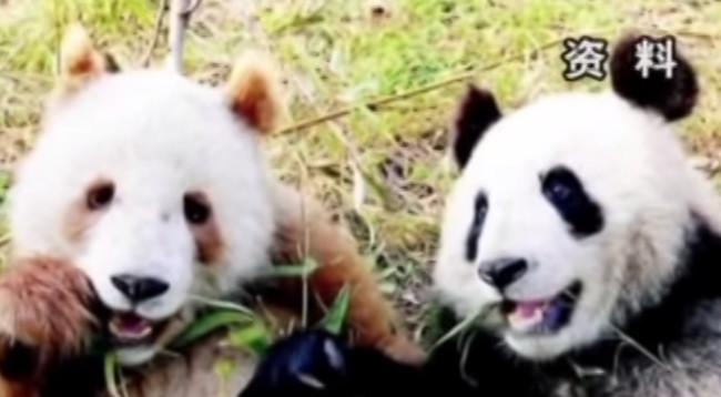 This caramel-brown panda bear is deliciously adorable.