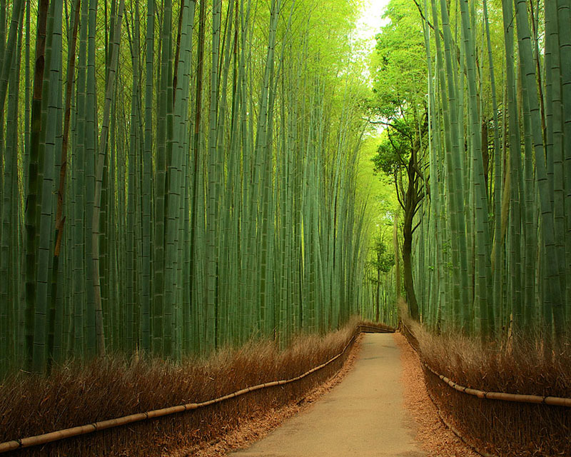 Bamboo Forest - China