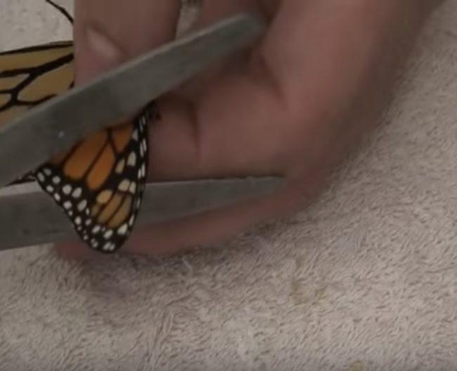 Dengan kerusakan minimal, sayap kupu-kupu bisa saja dipotong untuk meningkatkan simetri penerbangan. Sayangnya, bukan itu masalahnya.