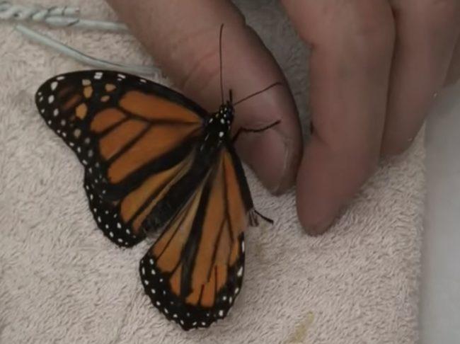 Ketika salah satu kupu-kupu di konservatori mengalami kerusakan parah pada sayap kanannya, pria itu memutuskan untuk turun tangan dan menyelamatkan hari itu.