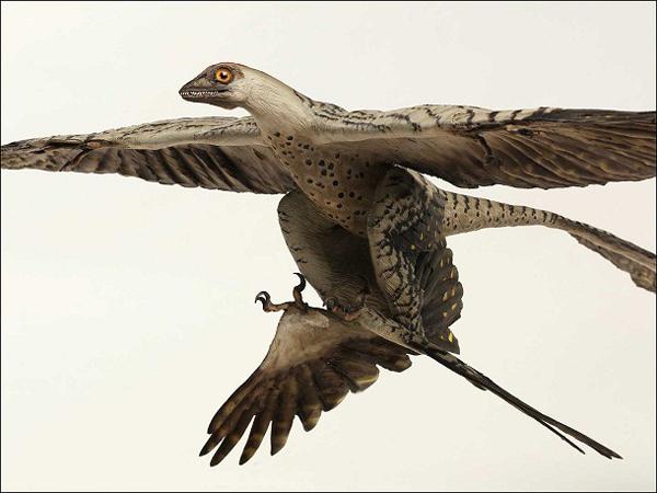 """1.)Microraptor:它的名字意思是""""一个抓住的人""""。 它是一个很小的恐龙,古生物学家长期以来一直在争论使用它的四个翅膀。"""