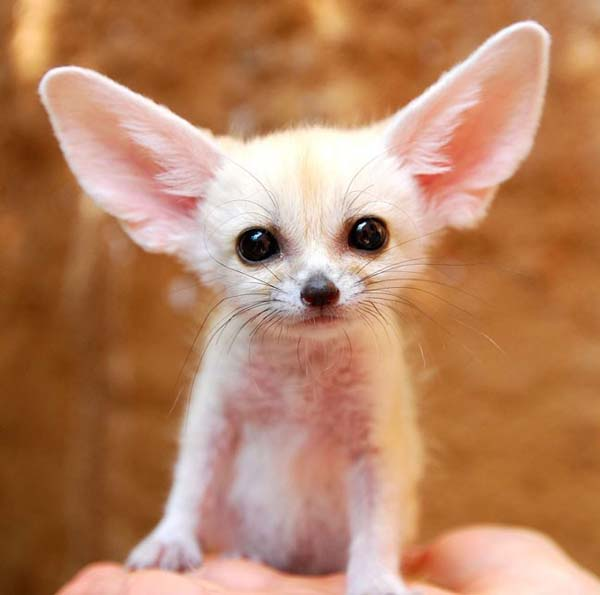 25.) I love you, fennec fox. Can you hear me?