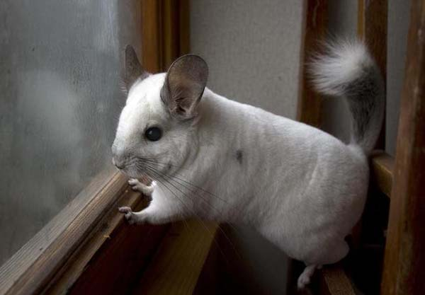 20.) Mr. Chinchilla is looking for you.