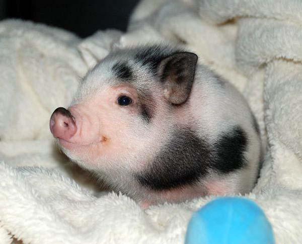 18.) Piglet for President!